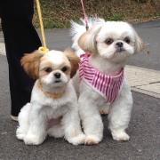 シーズー犬の♀コロン♀くるみといいます (*^_^*)