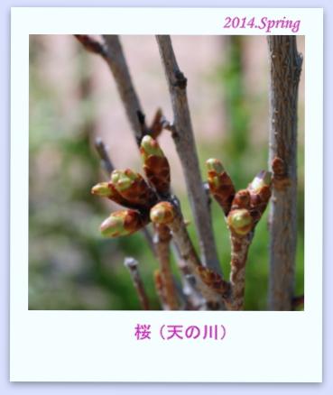 cherry blossom2014
