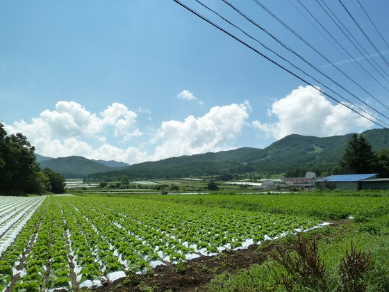 野辺山高原では一面で高原野菜が育つ