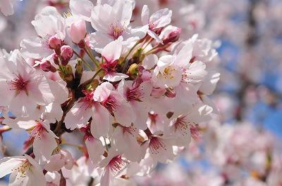s-桜201403