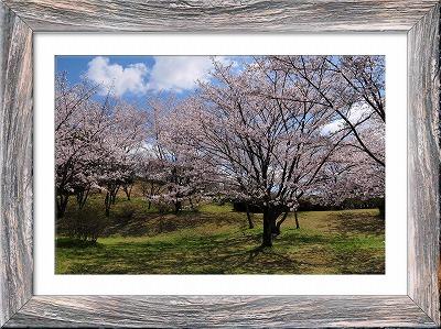 s-桜201405