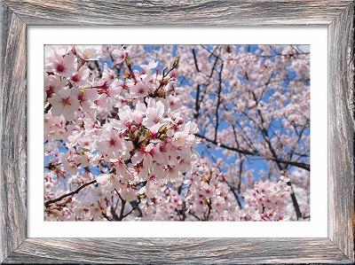 s-桜201406