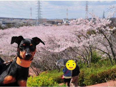 s-桜201407