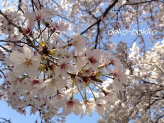 桜 201404