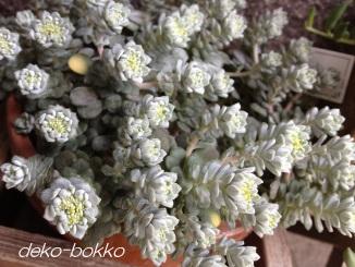 白雪ミセバヤ 201404 花芽