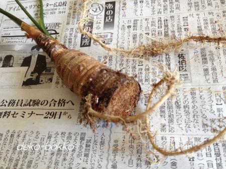 クワズイモ 根っこ 201404
