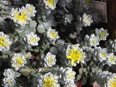 白雪ミセバヤ 開花