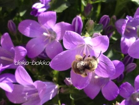 カンパニュラ 蜂 201405