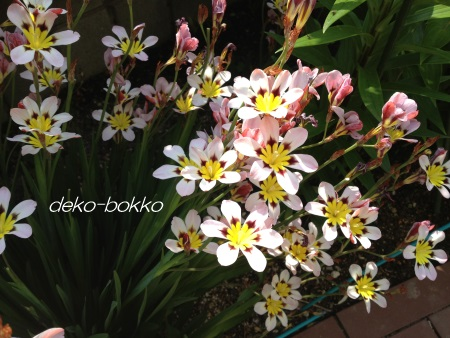 実家の花 201405