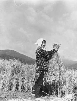 刈りとった稲を束ねているところ。昭和14年(1939)10月29日。