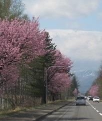 2014帯広桜3