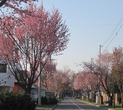 2014帯広桜4