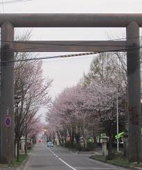 2014帯広桜5