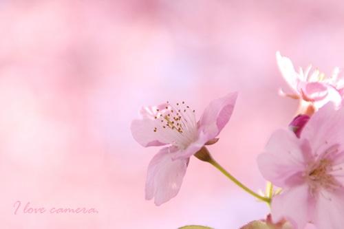IMG_2014_03_07_9999_183河津桜4