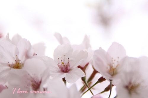 IMG_2012_04_13_5273sakura4桜5
