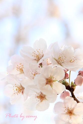 IMG_2014_03_29_9999_32桜2