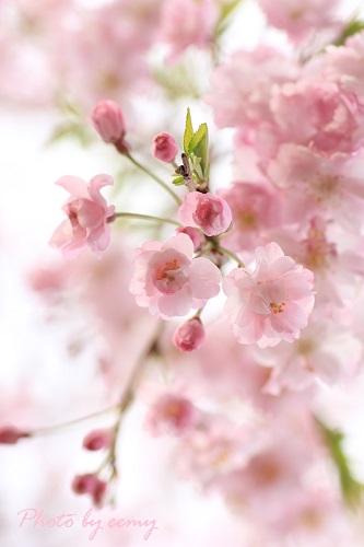IMG_2014_03_31_9999_132枝垂れ桜