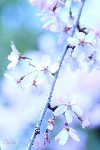 IMG_2014_04_02_9999_24しだれ桜3