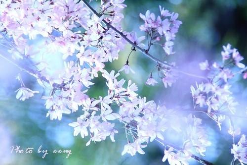 IMG_2014_04_02_9999_21しだれ桜