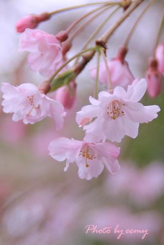 IMG_2014_04_03_9999_35しだれ桜2