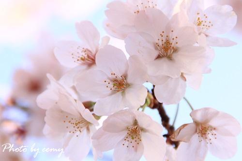 IMG_2014_04_04_9999_166桜4