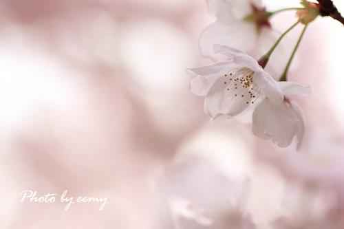 IMG_2014_03_31_9999_174桜2
