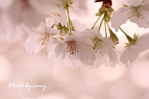 IMG_2014_04_07_9999_147桜2