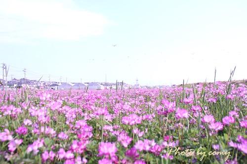 IMG_2014_04_14_9999レンゲ畑2