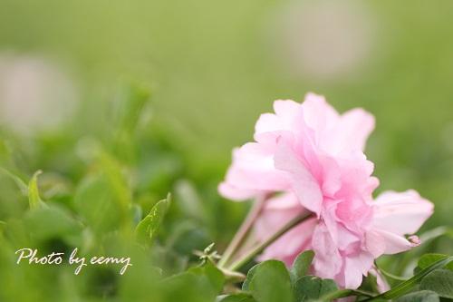IMG_2014_04_17_9999_229八重桜2