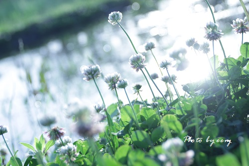 IMG_2014_05_04_9999_25小川とシロツメグサ