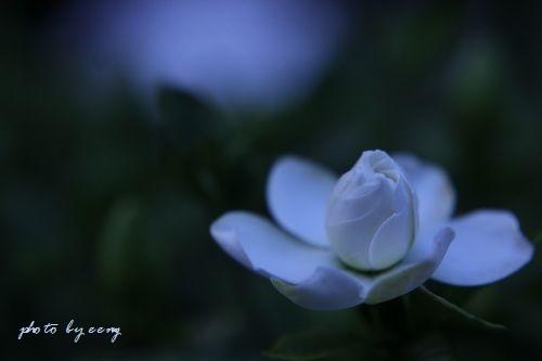 IMG_2014_06_20_9999_80クチナシの花2
