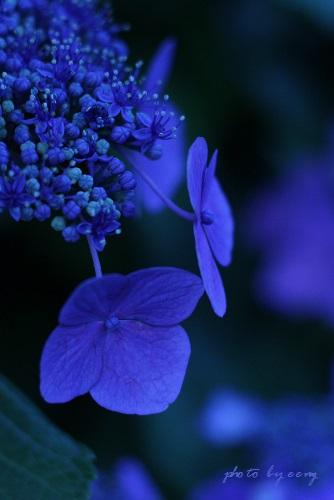 IMG_2014_06_13_9999_30紫陽花