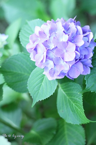 IMG_2014_06_20_9999_25紫陽花