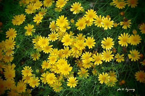 069黄色い花5