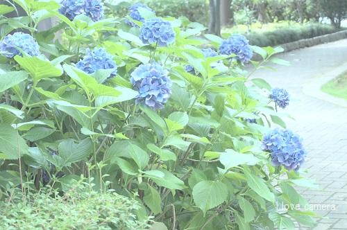 086紫陽花