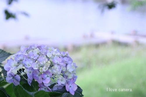 IMG_2014_06_07_9999_38紫陽花2