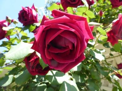 つるバラ 2014 5・11