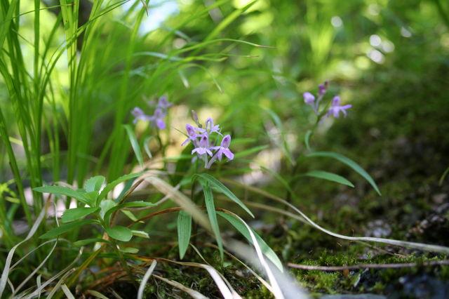 ウチョウラン (Orchis graminifolia ...