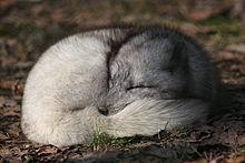 可愛いホッキョクギツネの寝顔