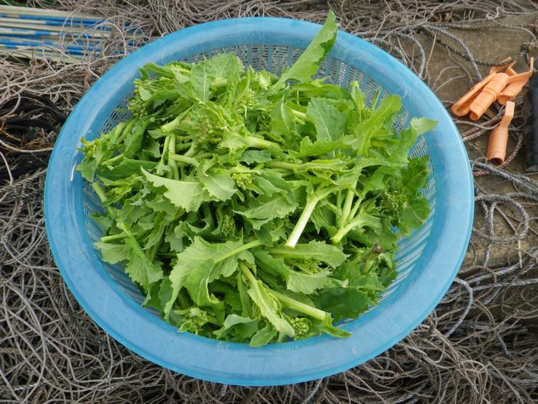 収穫菜花14_03_02