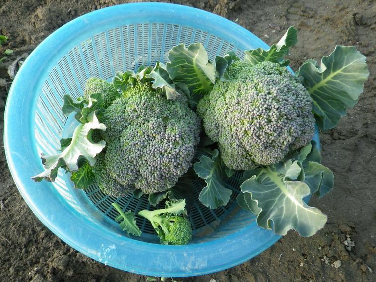 収穫ブロッコリー14_03_02