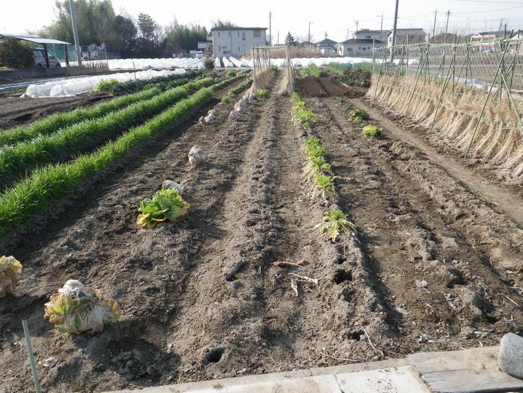 冬野菜撤収前14_03_09