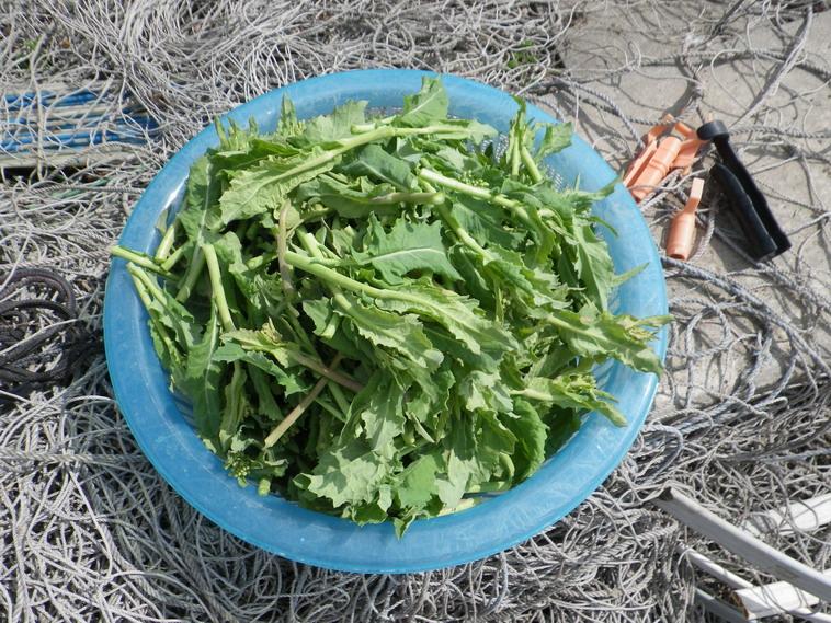収穫菜花14_03_09