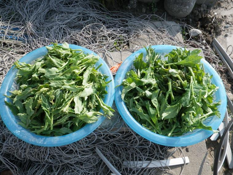 収穫菜花14_03_16