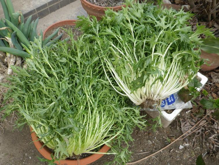 収穫水菜14_03_16