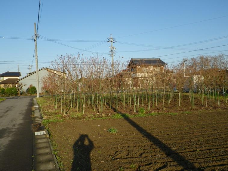 サクラ畑2_14_03_19