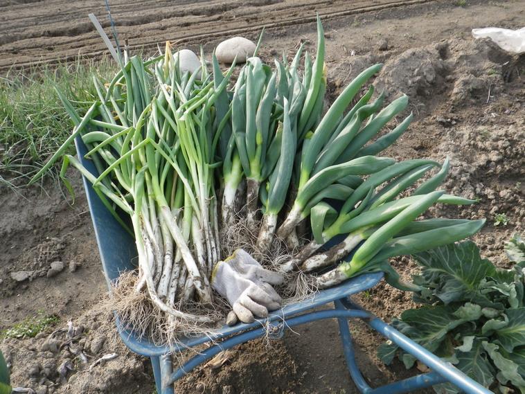 収穫ネギ14_03_29