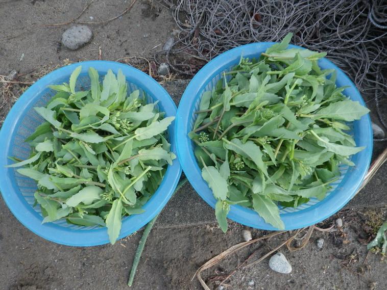 収穫菜花14_04_06
