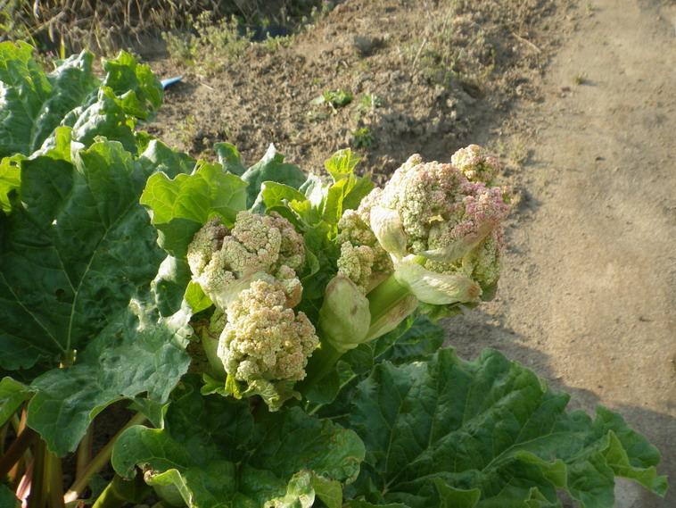 ルバーブの花14_04_09