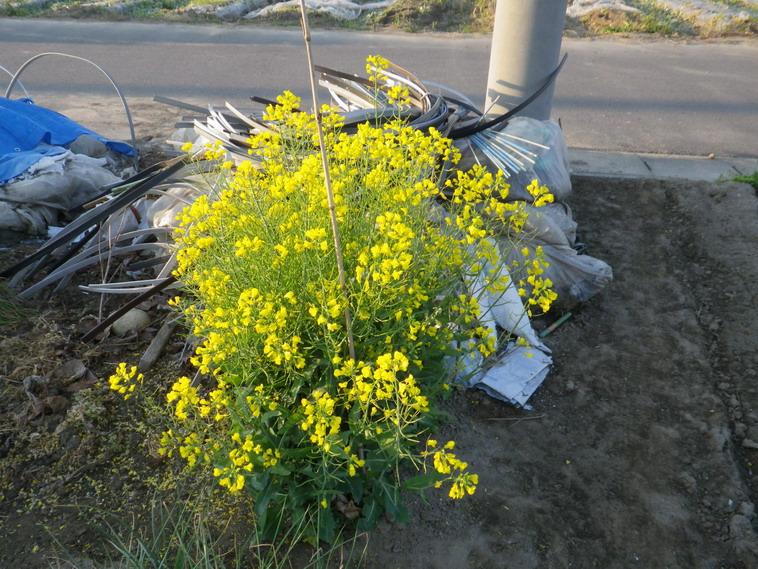 菜花早生種採り用14_04_15